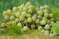 De druiven van de wijn Stock Foto's