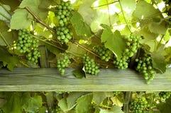 De Druiven van de wijn Royalty-vrije Stock Foto's
