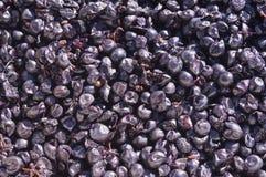 De Druiven van de wijn, Californië Royalty-vrije Stock Foto