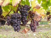 De druiven van de wijn vóór oogst Royalty-vrije Stock Afbeeldingen