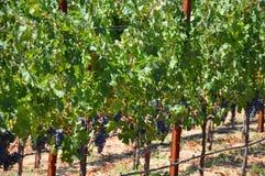 De Druiven van de wijngaard Royalty-vrije Stock Afbeeldingen