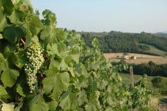 De Druiven van de wijngaard Royalty-vrije Stock Fotografie