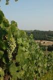 De Druiven van de wijngaard Stock Fotografie