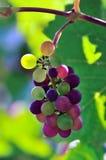 De Druiven van de wijnstok Royalty-vrije Stock Fotografie
