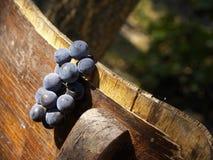 De druiven van de wijnstok Stock Afbeeldingen