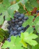 De druiven van de wijnstok, druivenoogst in Italië. Stock Fotografie