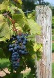 De Druiven van Frontenac op Wijnstok 3 Royalty-vrije Stock Afbeeldingen
