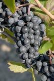 De Druiven van Gamay Stock Foto's
