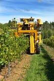 De Druiven van Havesting Stock Foto's