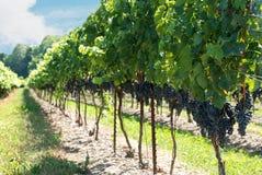 De druiven van het verdrag op de wijnstok Stock Foto