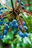 De Druiven van Oregon Stock Afbeelding