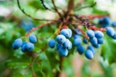 De Druiven van Oregon Royalty-vrije Stock Afbeelding