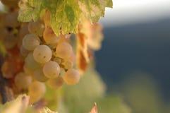 De druiven van riesling Stock Afbeelding