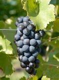De Druiven van Syrah/van Shiraz Royalty-vrije Stock Fotografie