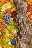 De Druiven van Ump Royalty-vrije Stock Foto's