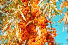De druiven van vers oranje overzees-wegedoorn voedsel met bladeren op boom vertakken zich tegen blauwe hemelachtergrond royalty-vrije stock fotografie