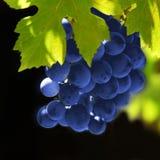 De druiven van wijnstokken Royalty-vrije Stock Afbeeldingen