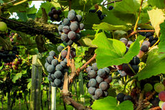 De druiven van wijnstokken royalty-vrije stock afbeelding