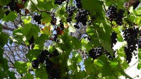 De druiven versieren luifel in de werf stock videobeelden