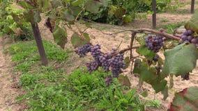 De druiven (Vitaceae) bessen groeien in landbouwbedrijfaanplanting stock footage