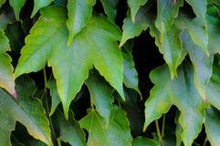 De druivenbladeren van de wijn Stock Foto
