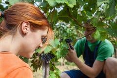 De druivenoogst Stock Afbeeldingen