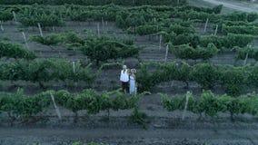 De druivenoogst, luchtmening over paar met bos van druiven bekijkt op camera wijngaard stock footage
