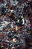 De druppels van de boomhars op de stam stock afbeeldingen