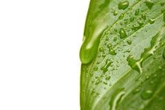 De druppeltjes van het water op blad stock foto