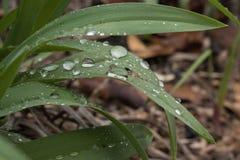 De druppeltjes van het water op bladeren Royalty-vrije Stock Foto