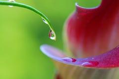 De druppeltjes van het water op calla