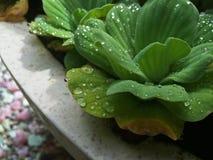 De druppeltjes van de ochtenddauw op zachte groene installatiebladeren stock fotografie