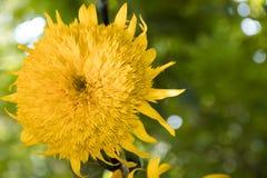 De dubbele bloem van de badstofzonnebloem op een groene achtergrond stock foto