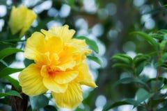 De dubbele bloesem van de Hibiscusbloem Stock Foto's