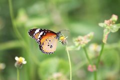 De Duidelijke Tiger Danaus-vlinder van Linnaeus van chrysippuschrysippus royalty-vrije stock foto's