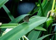 De duidelijke zitting van de cupidovlinder op bladeren Stock Afbeelding