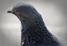 De duif Royalty-vrije Stock Afbeeldingen