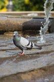 De duif baadt in fontein op Plaza DE Espana, Madrid, Spanje Royalty-vrije Stock Afbeelding