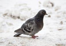 De duif bevindt zich op de sneeuwbank Stock Afbeelding