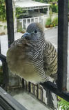 De duif die van Java zich bij de venstervensterbank bevinden royalty-vrije stock afbeeldingen