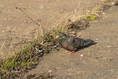 De duif die zich vreedzaam die op beton bevinden met grint wordt gemengd betegelt het overzien van het omringen en het genieten v stock afbeelding