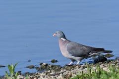 De duif drinkt water bij de meerwildernis stock foto's