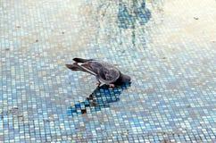 De duif drinkt water van een droge fontein royalty-vrije stock fotografie