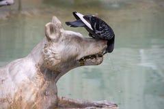 De duif drinkt water van hondenstandbeeld Stock Afbeeldingen