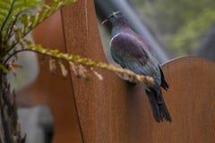 De duif Kereru van Nieuw Zeeland stock afbeelding
