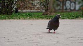 De duif loopt langs de weg zoekend voedsel stock video
