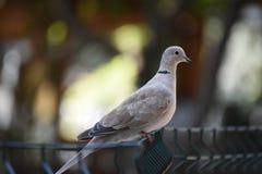 De duif op de omheining Stock Foto