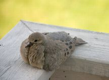 De duif van de ochtend stock afbeeldingen