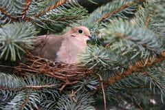 De Duif van de ochtend op Nest Stock Afbeeldingen