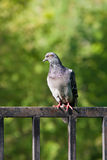 De duif van de rots op een omheining Stock Foto